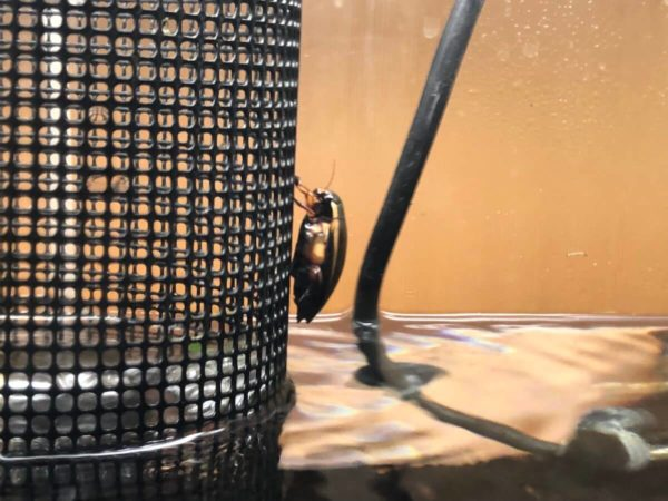ヒメフチトリゲンゴロウ