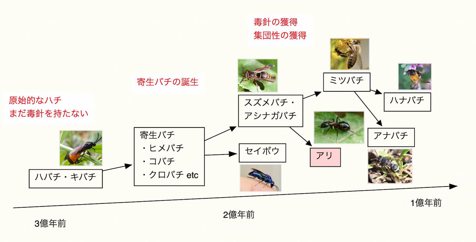 アリはハチから進化した。進化図で解説。