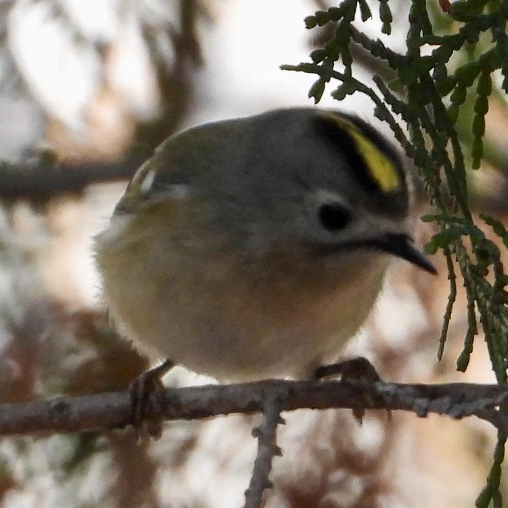 キクイタダキ〜日本最小の鳥。黄色いちょんまげがエモい