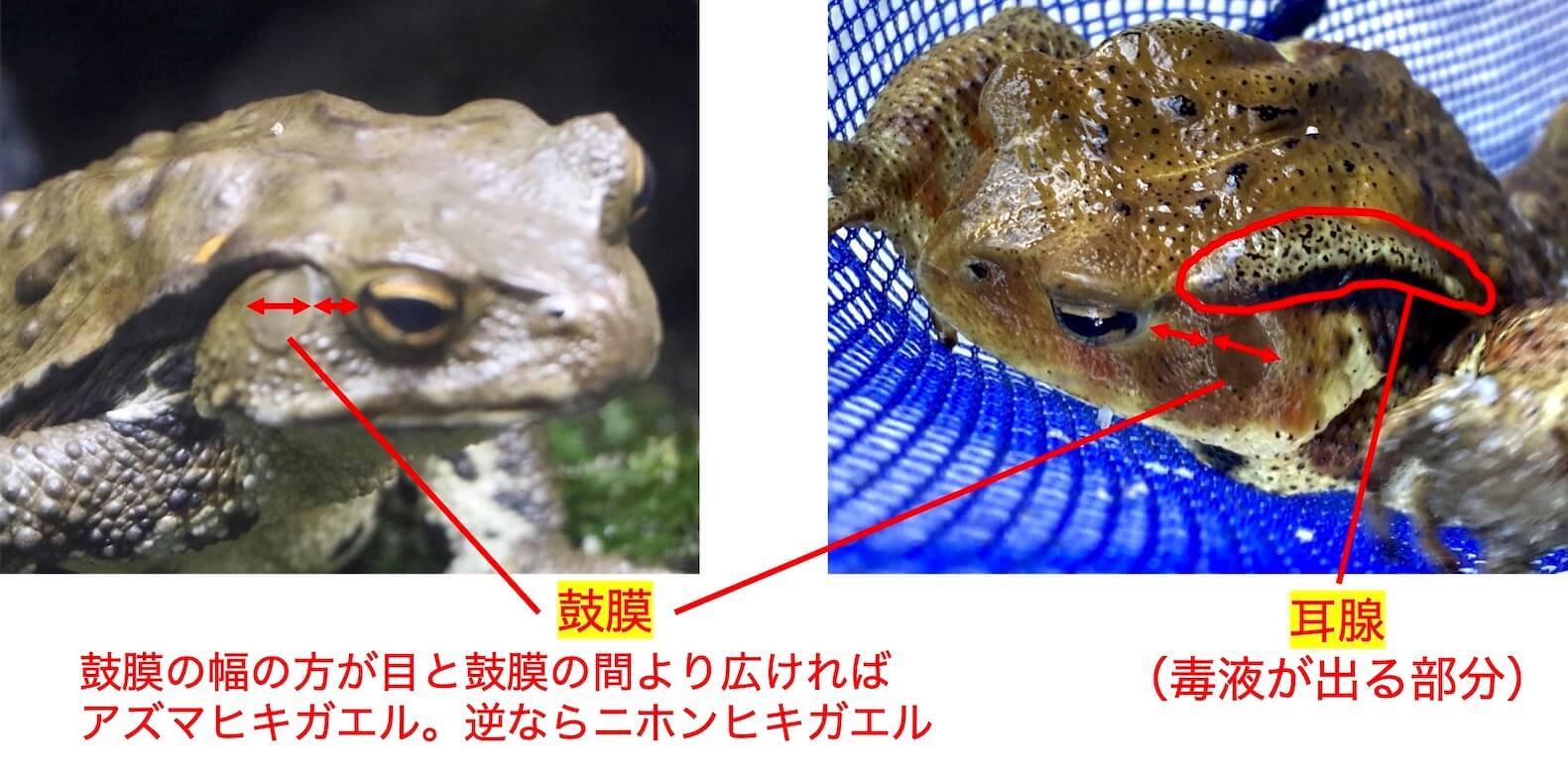 アズマヒキガエルとニホンヒキガエルの区別-2
