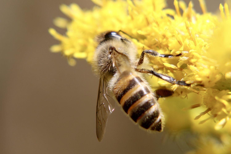 ハチの種類〜大きい画像で同定しやすい図鑑