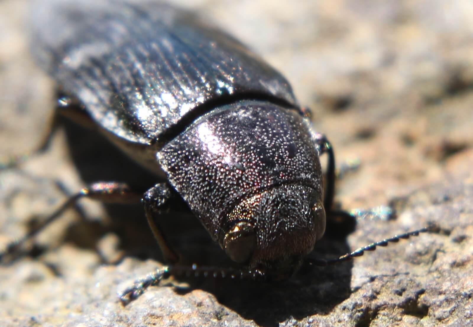 クロタマムシ〜少し害虫。新築の柱や梁から出現することもある中型タマムシ