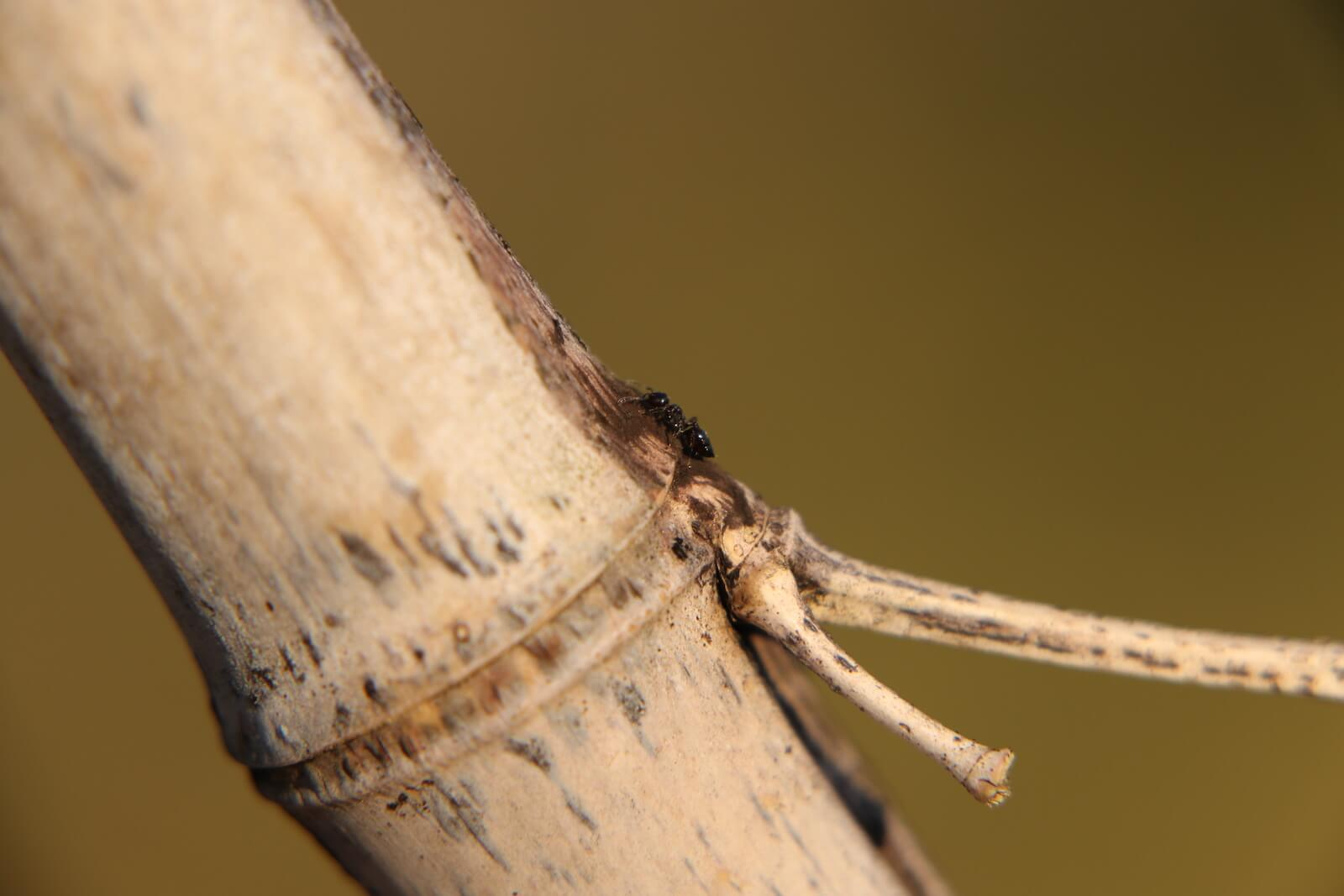 テラニシシリアゲアリ