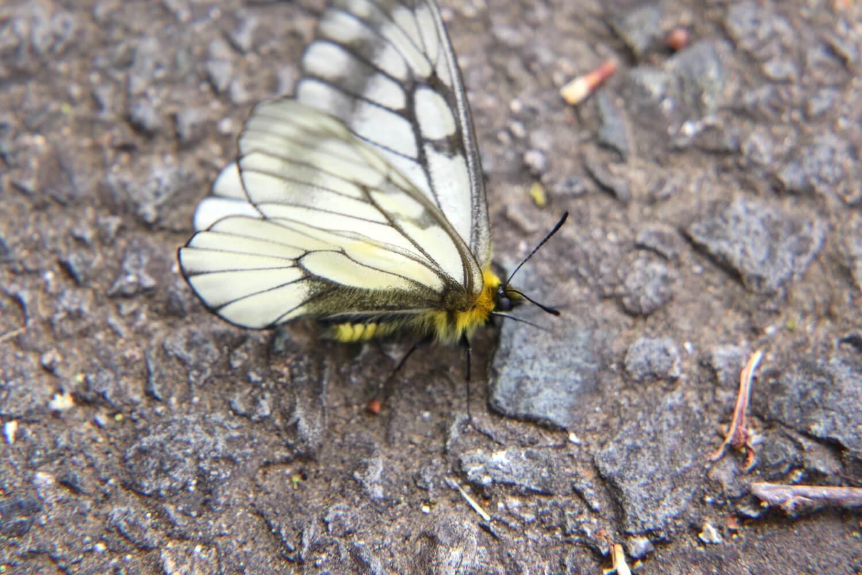 ウスバシロチョウ〜別称、ウスバアゲハ。白くひらひらと舞う蝶