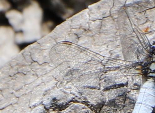 シオヤトンボの縁紋は橙褐色