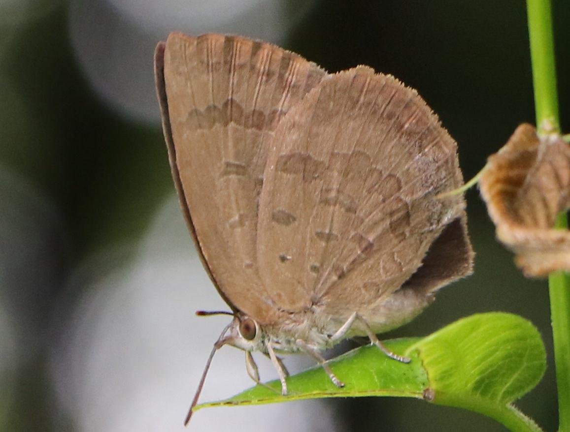 ムラサキシジミの雌の翅裏