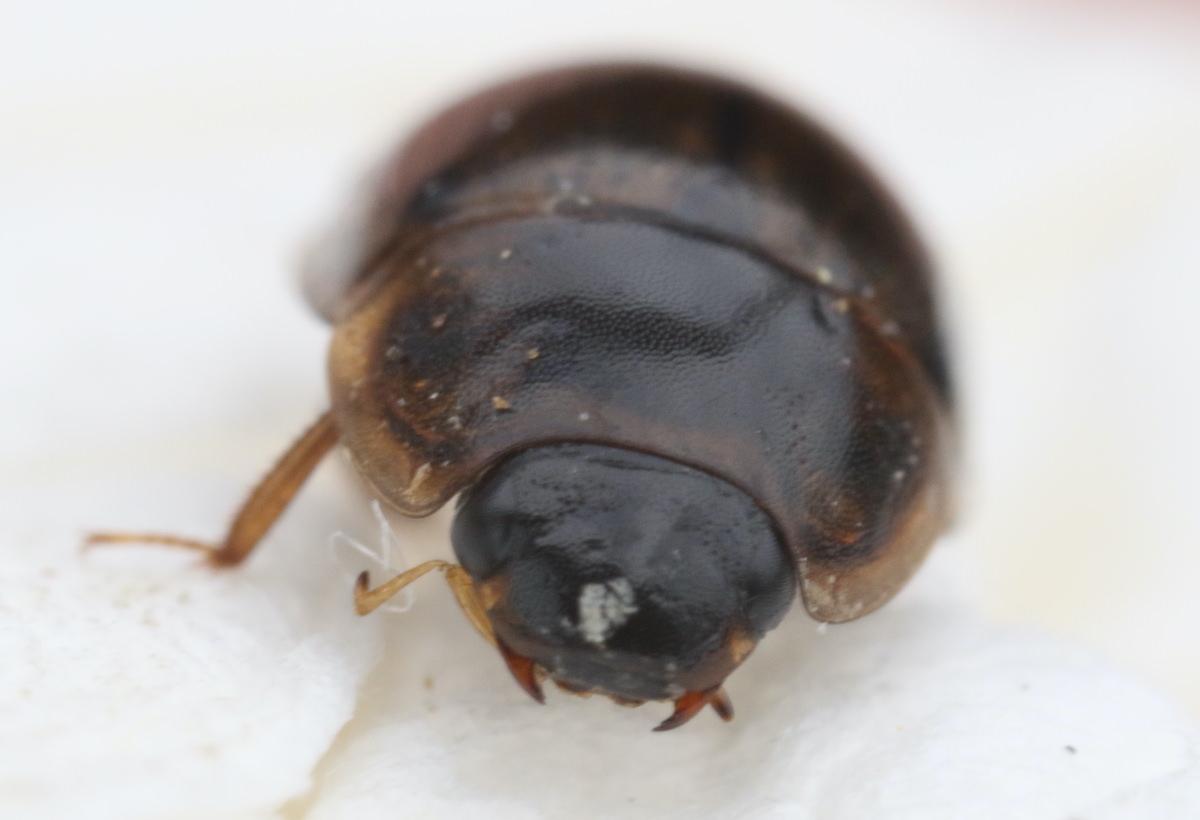 キベリヒラタガムシ