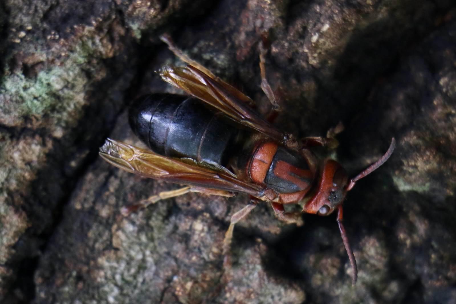 チャイロスズメバチ〜珍しいスズメバチ