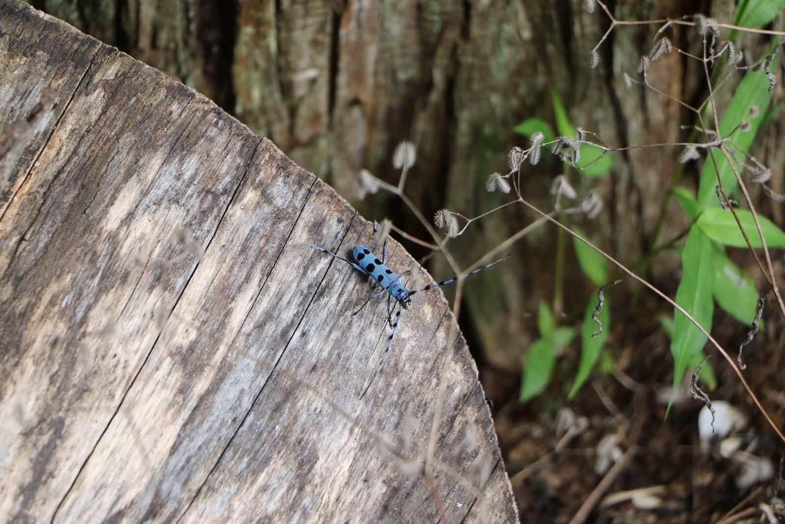 ルリボシカミキリとケヤキの伐採木
