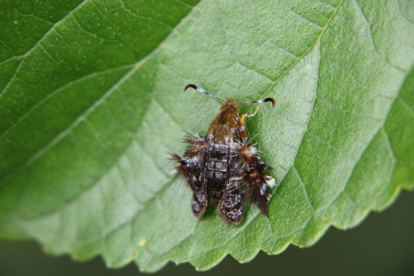 モモブトスカシバ 蛾
