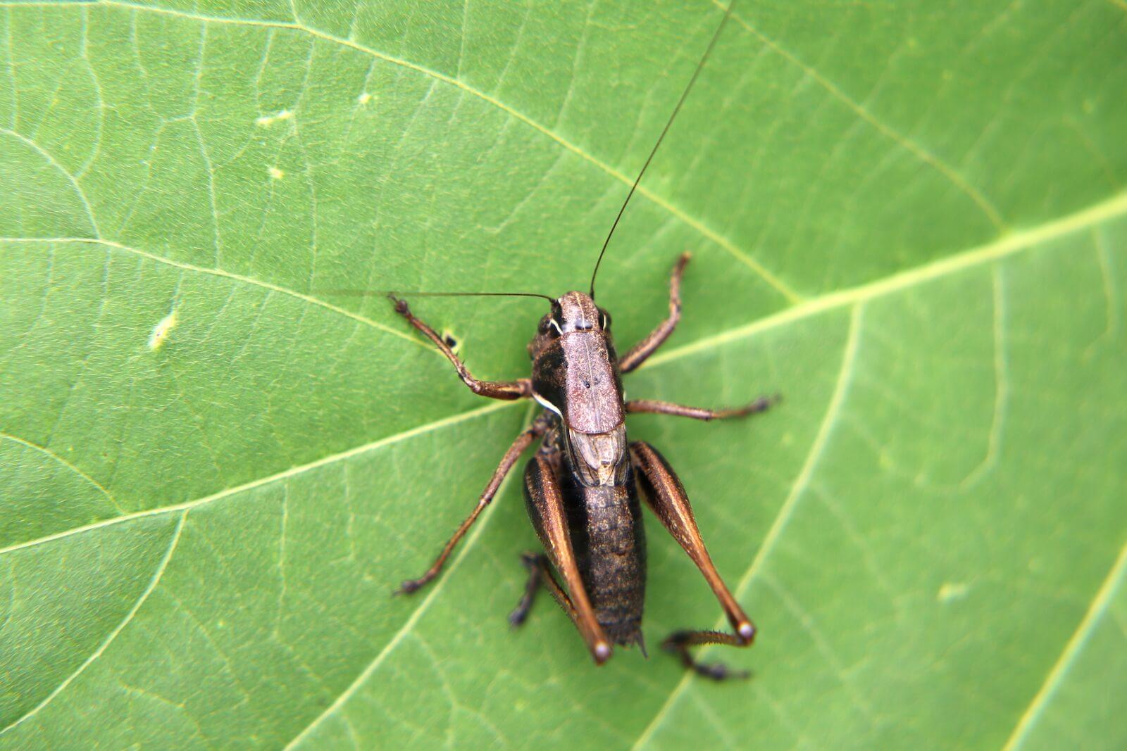 コバネヒメギス〜ヒメギスの幼虫と似るが、小さな翅(翅芽)があるので見分けられる
