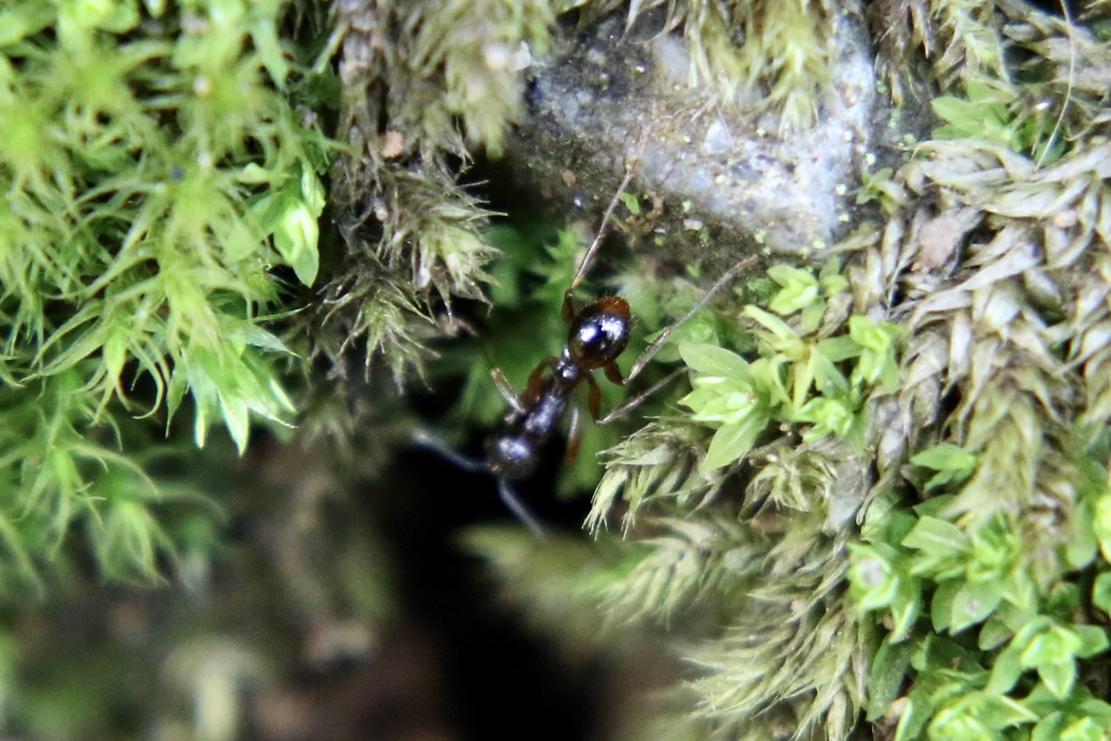 アシナガアリ