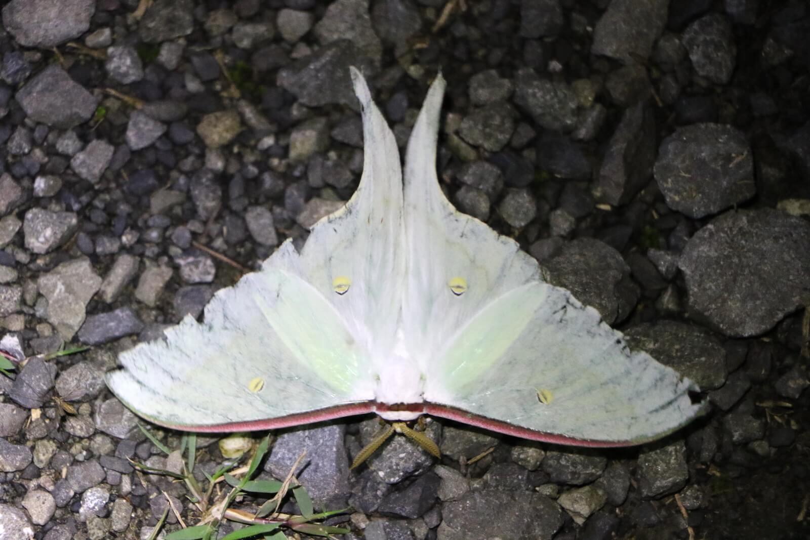 オナガミズアオ〜準絶滅危惧種の『森のアオ』。蛾を『アオ』と呼ぶは、先人が残した情緒。