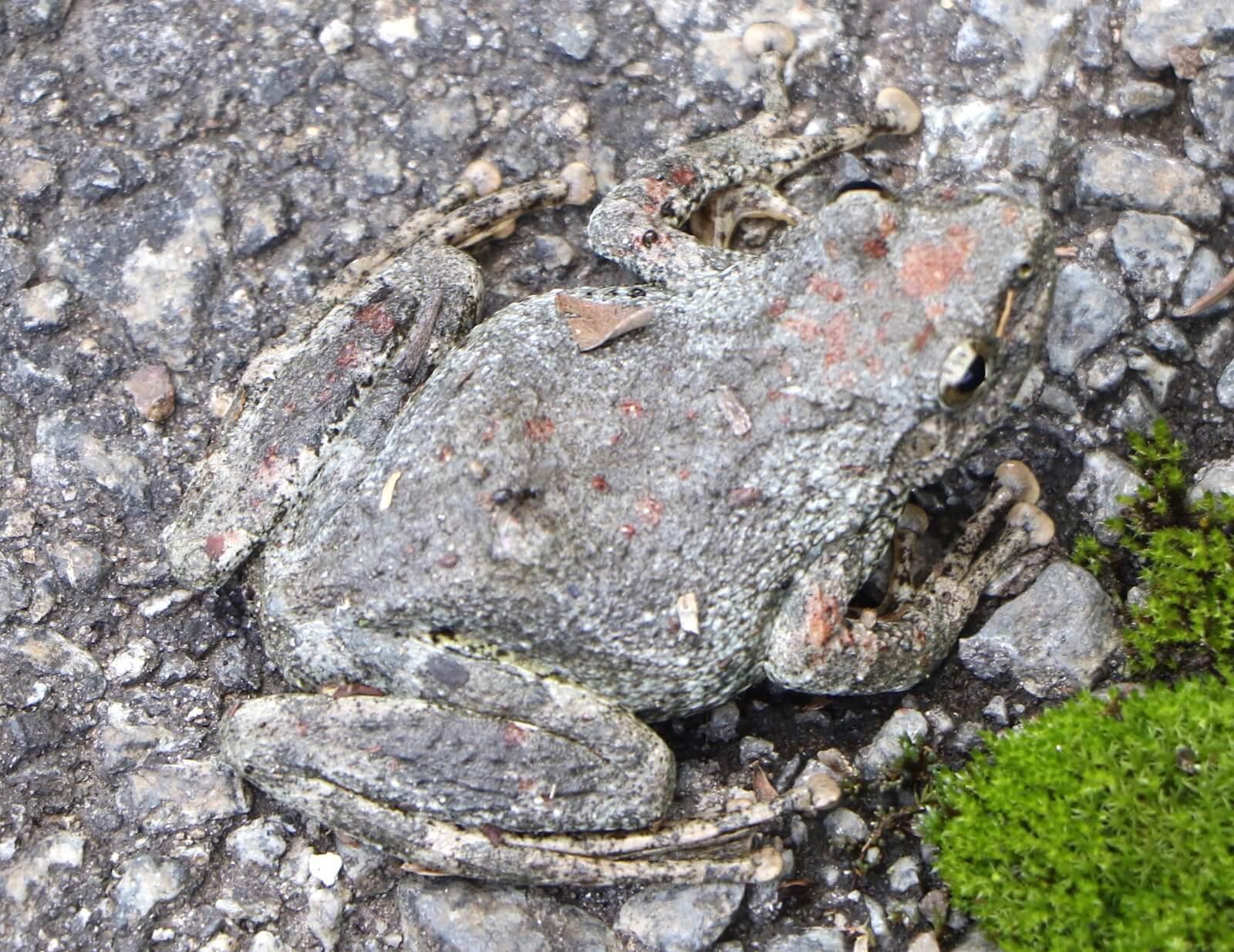 カジカガエル〜柄は違えど、指の先に大きな吸盤が目印