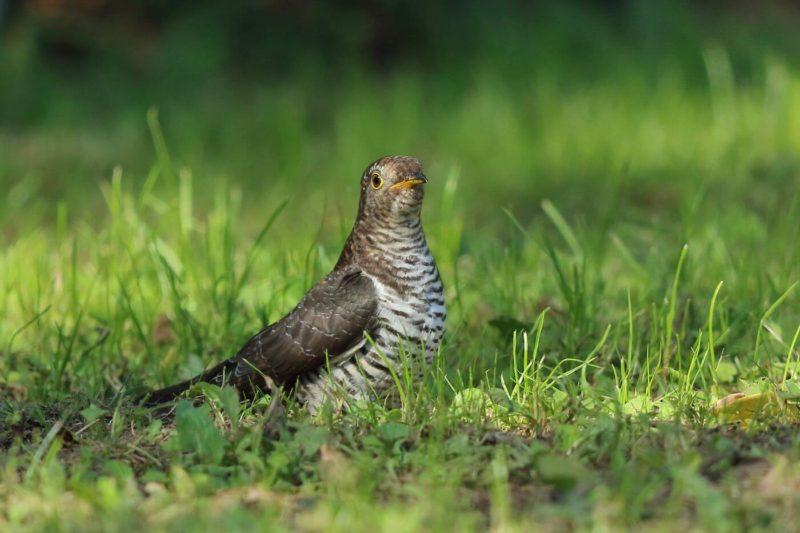 カッコウの若鳥