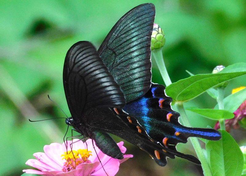 ミヤマカラスアゲハ(春型)
