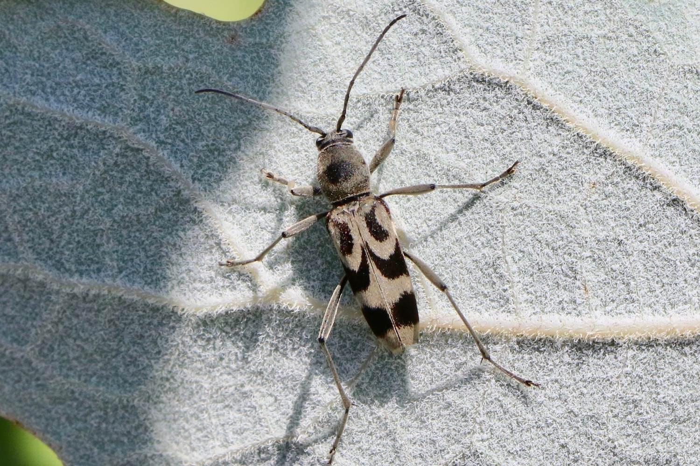 エグリトラカミキリ