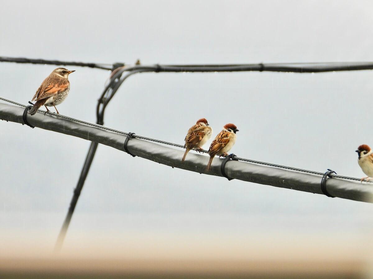 ツグミと雀の大きさ比較