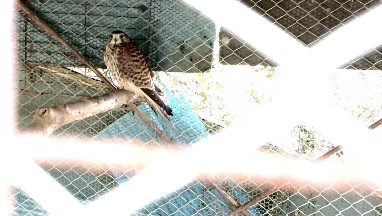 チョウゲンボウは日本最小の猛禽類