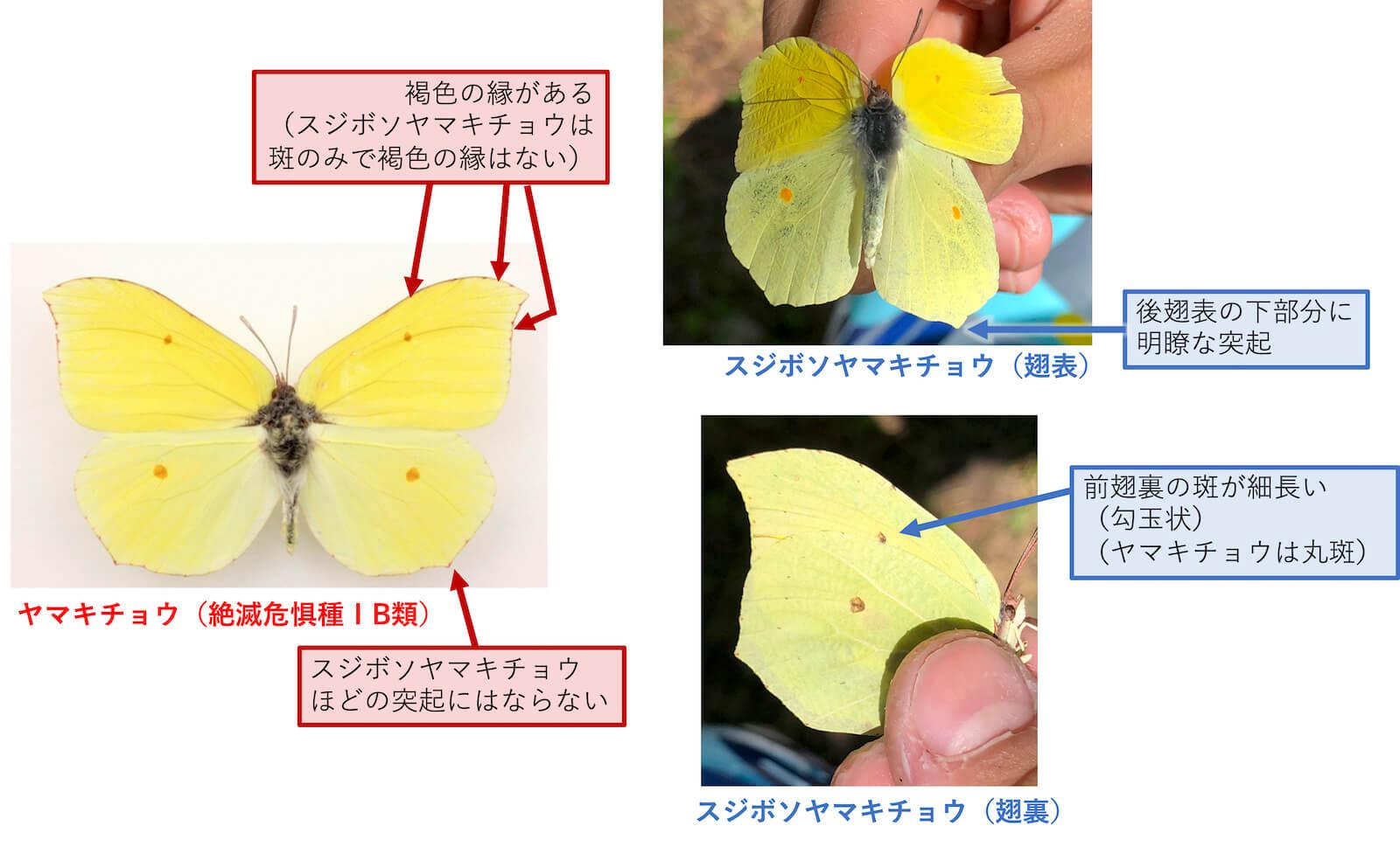 ヤマキチョウとスジボソヤマキチョウの見分け方-2
