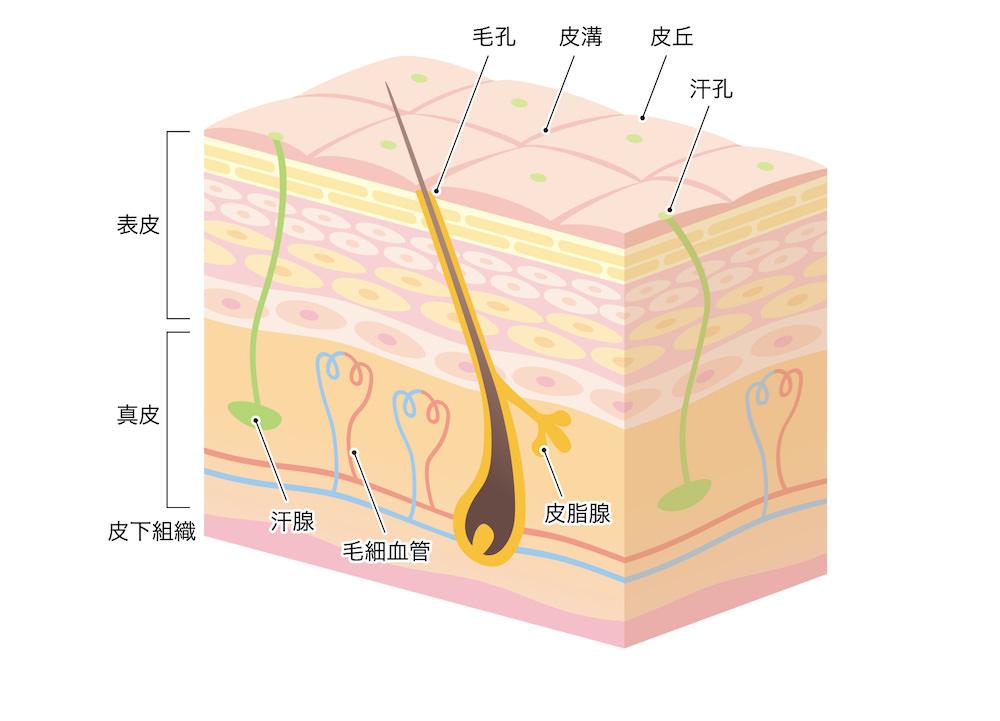 正常な皮膚、毛穴の状態