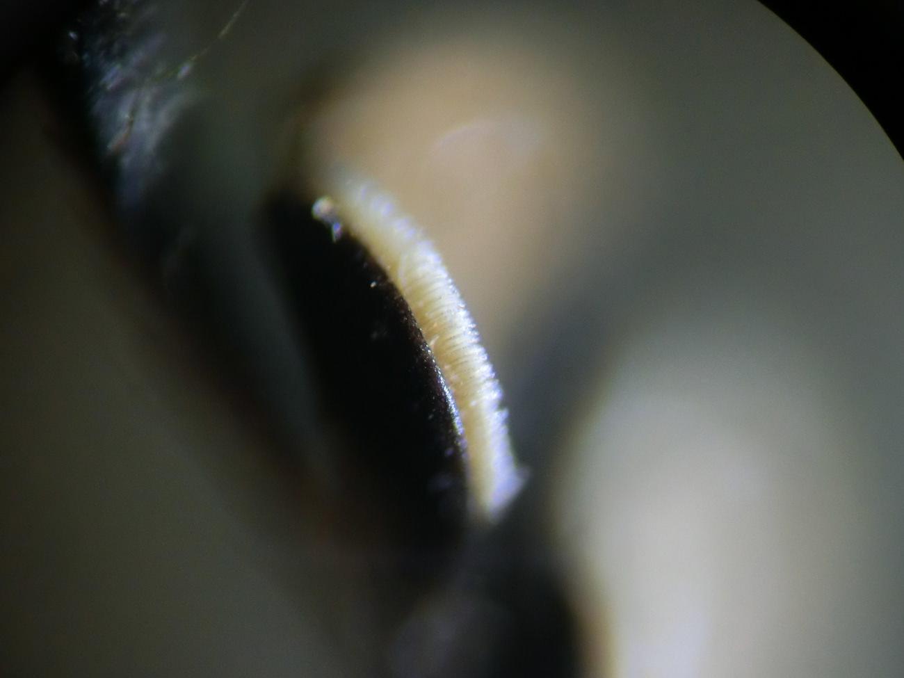 タマムシの顕微鏡ミクロ観察