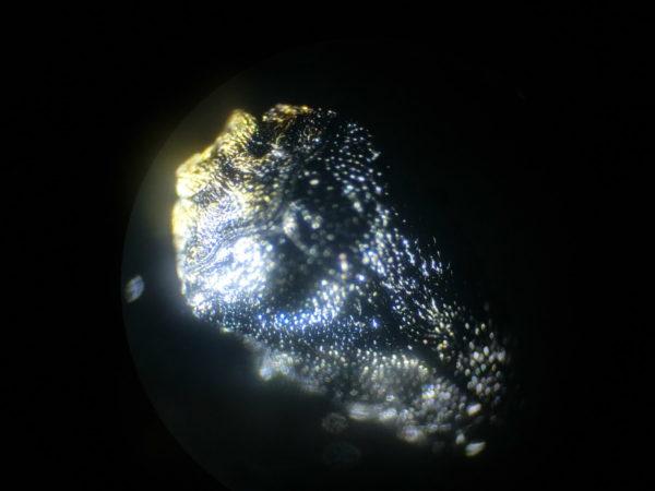 クズノチビタマムシ