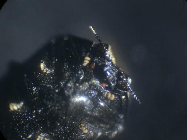クズノチビタマムシの顔アップ