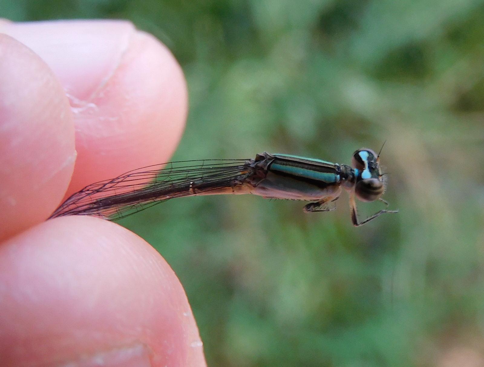 ホソミイトトンボ〜ライトブルーとエメラルドグリーンの鮮やかな色!成虫のまま越冬する珍しいトンボ