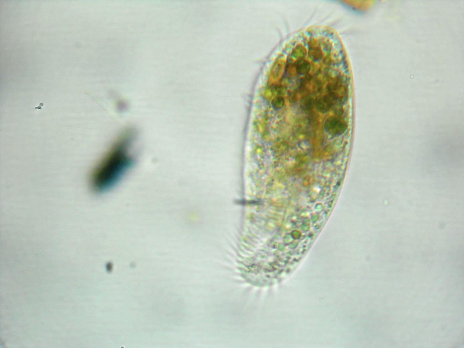 ミドリゾウリムシ〜体は動物、心に植物