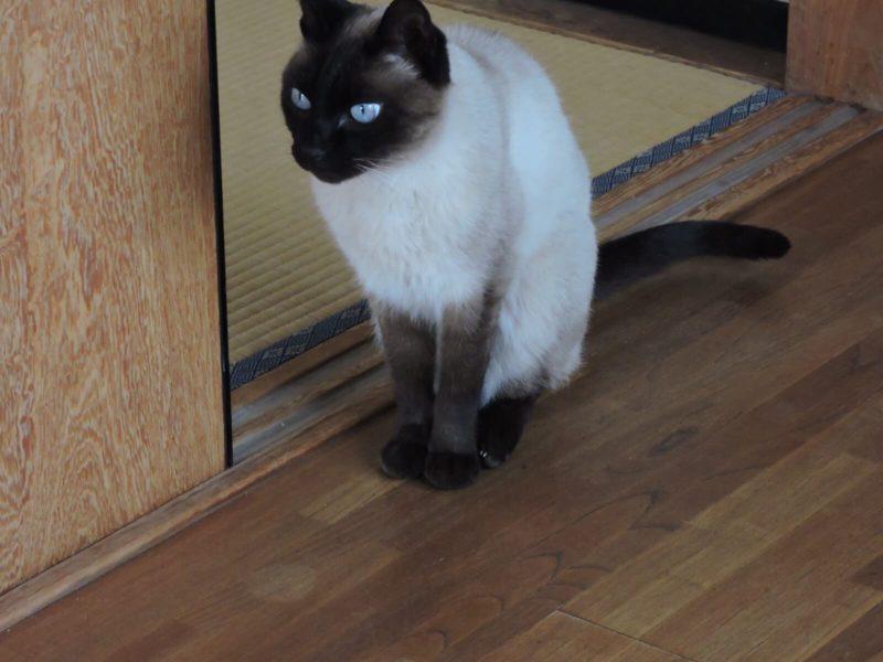 シャム猫(写真は雑種)