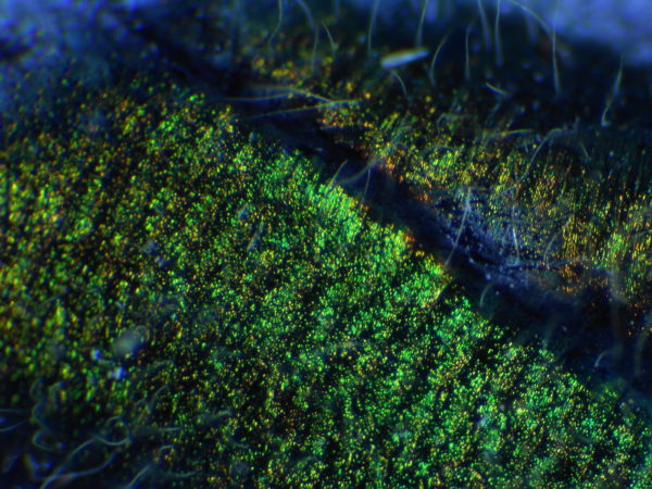 ミヤマカワトンボの胸部の光沢の顕微鏡写真