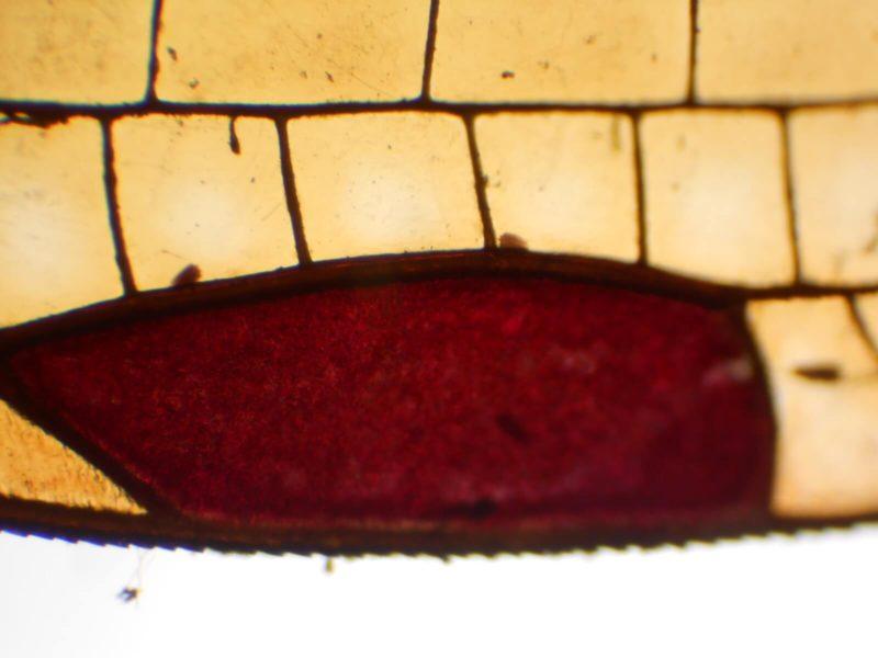 アサヒナカワトンボの縁紋