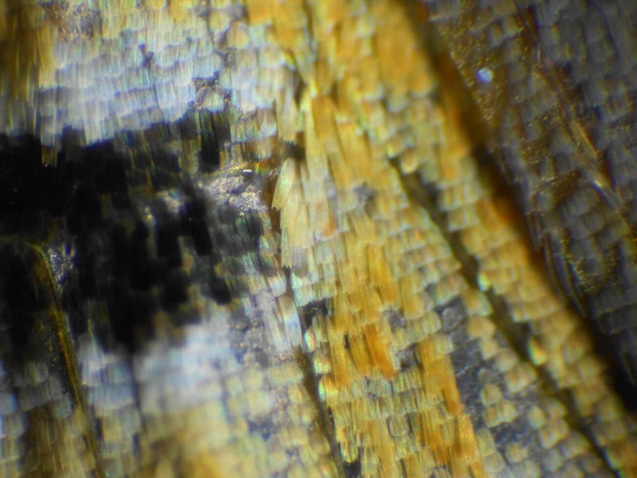 蝶の鱗粉のミクロ観察顕微鏡写真3