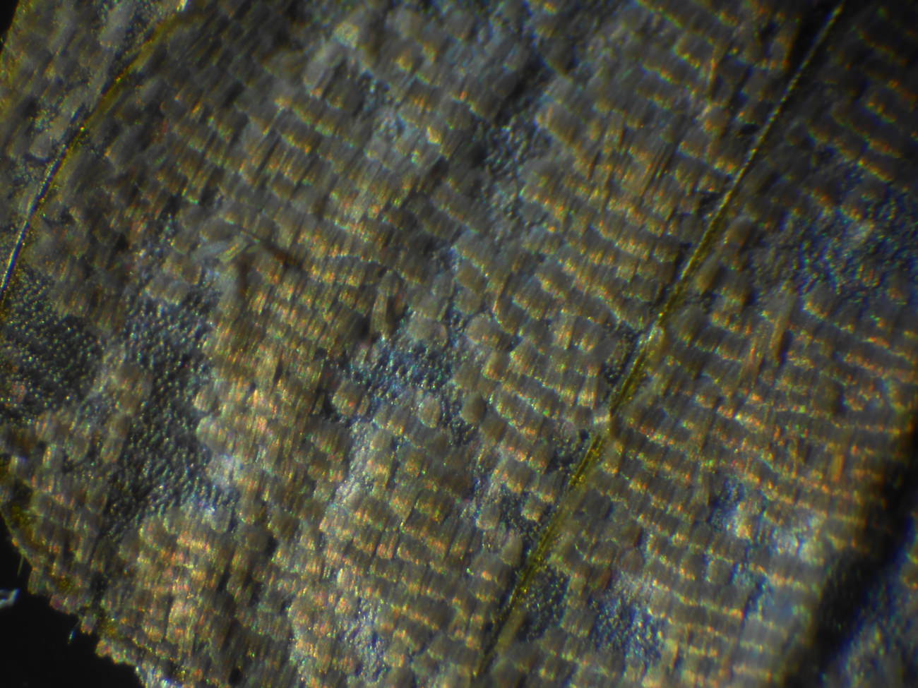 蝶のりん粉のミクロ観察顕微鏡写真