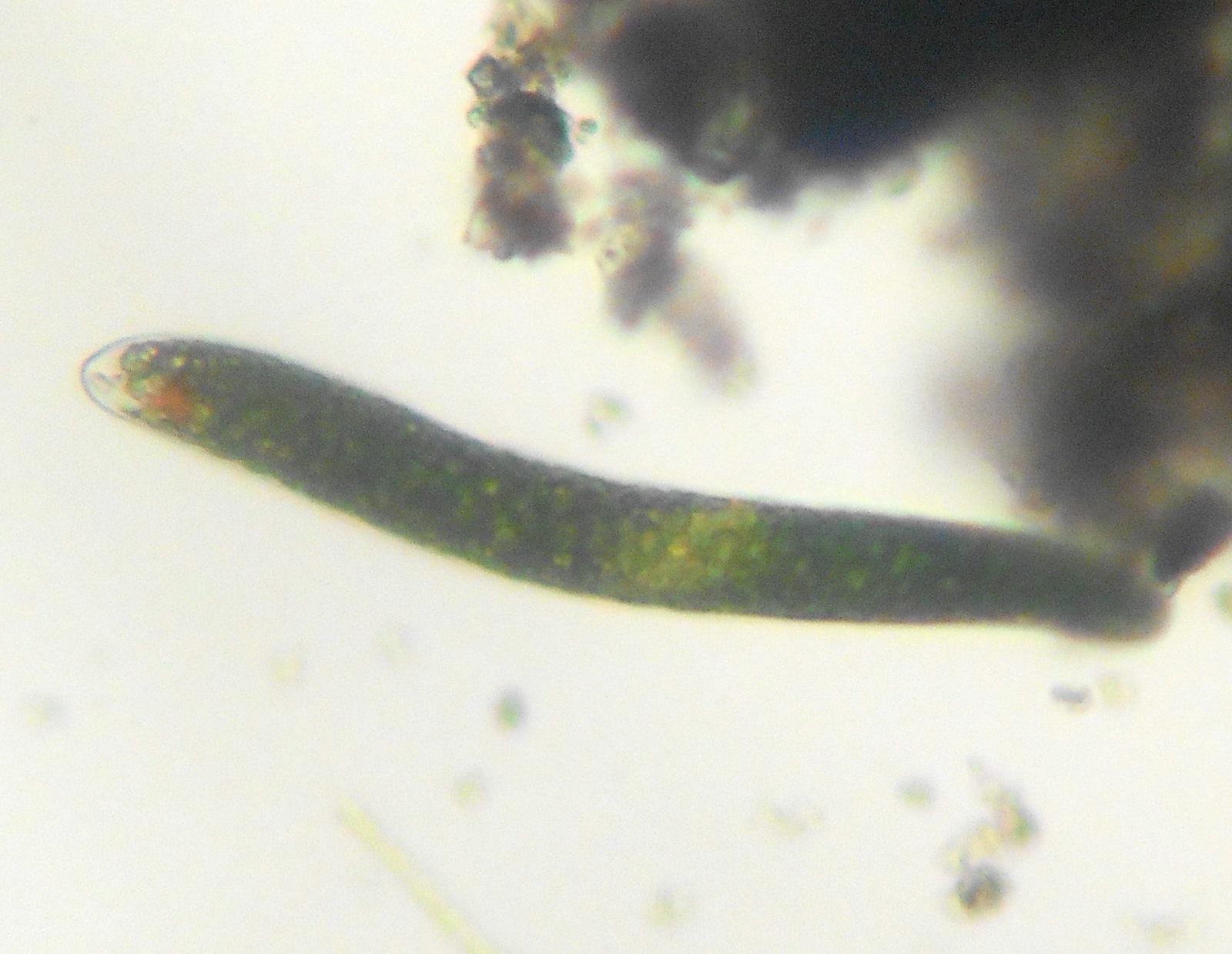 ミドリムシの写真・生態・特徴、種類