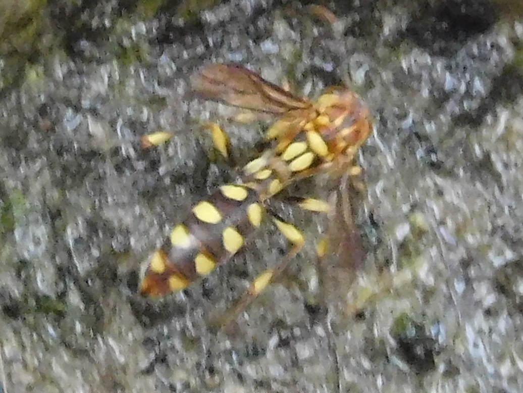 ヒメホソアシナガバチ(トウヨウホソアシナガバチ)