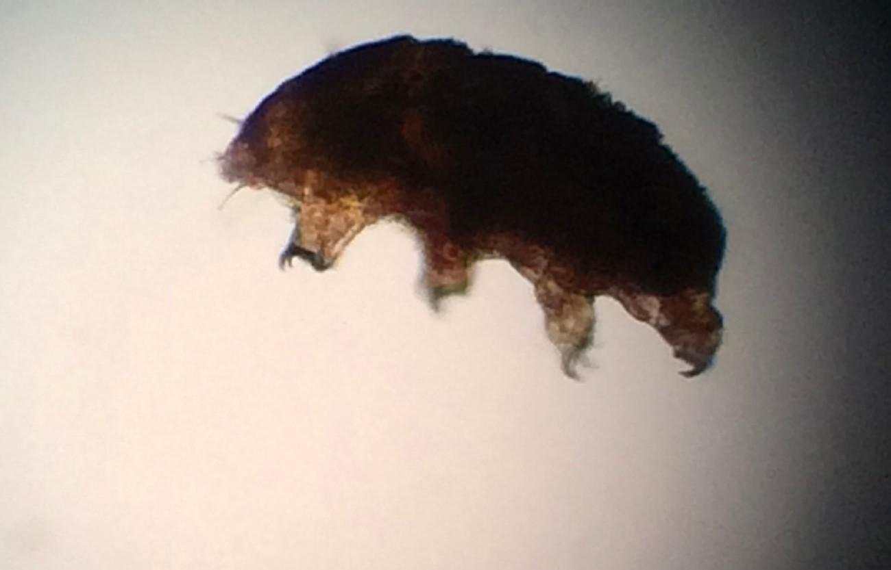 くまむしの顕微鏡ミクロ写真