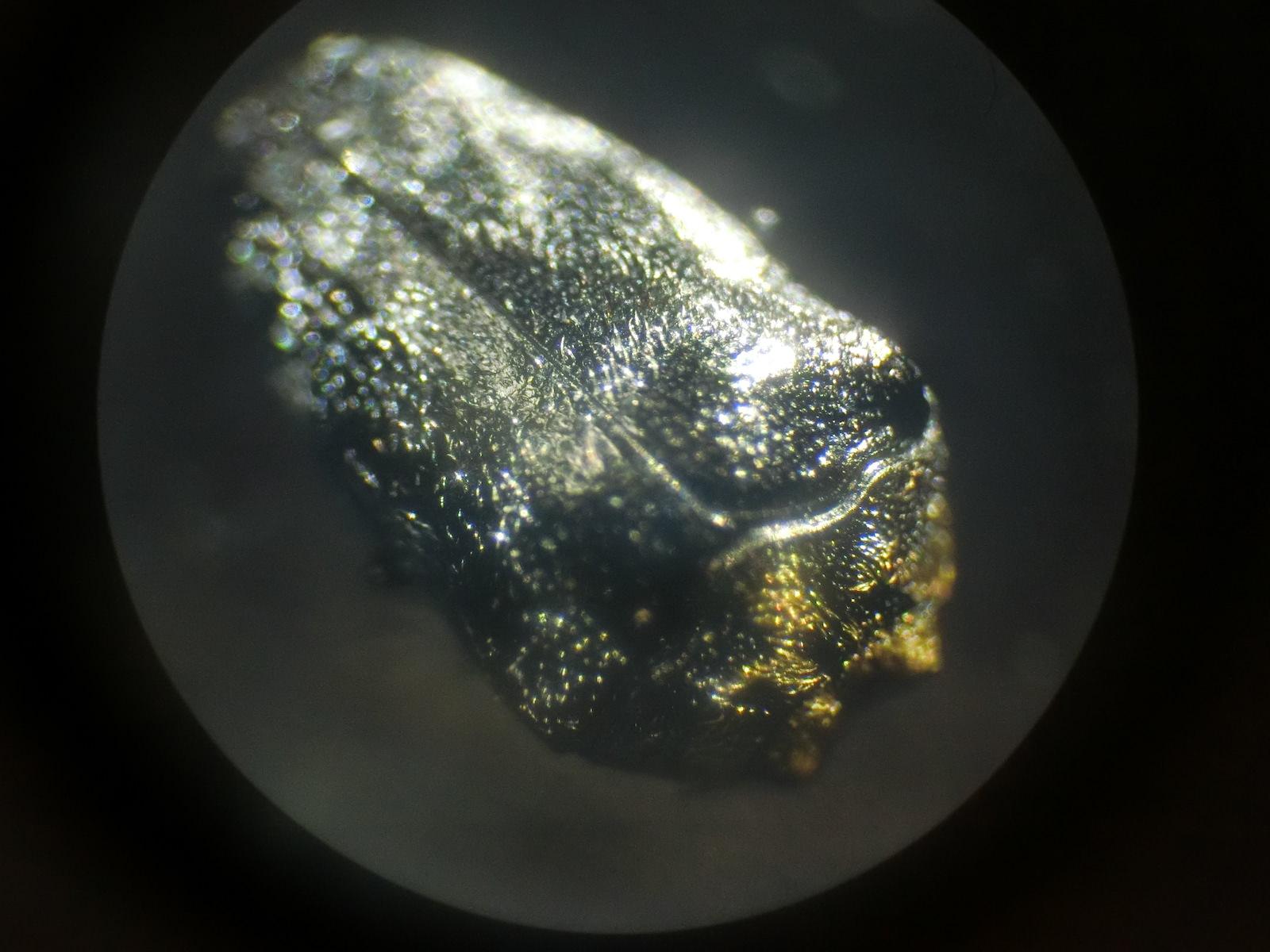 クズノチビタマムシの写真