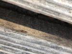 シリホソハネカクシの一種(山梨県北杜市)