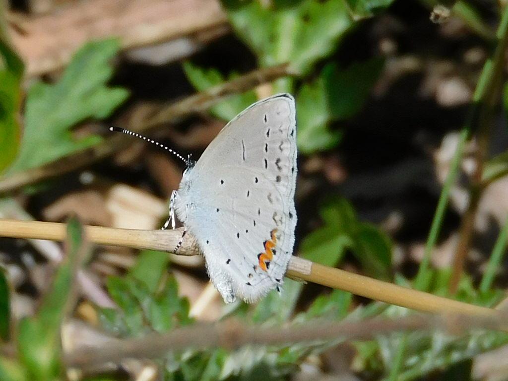 ルリシジミの翅裏
