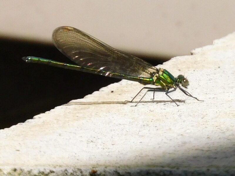 縁紋が白く翅が透明なアサヒナカワトンボ