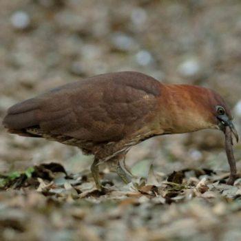 ミゾゴイ成鳥