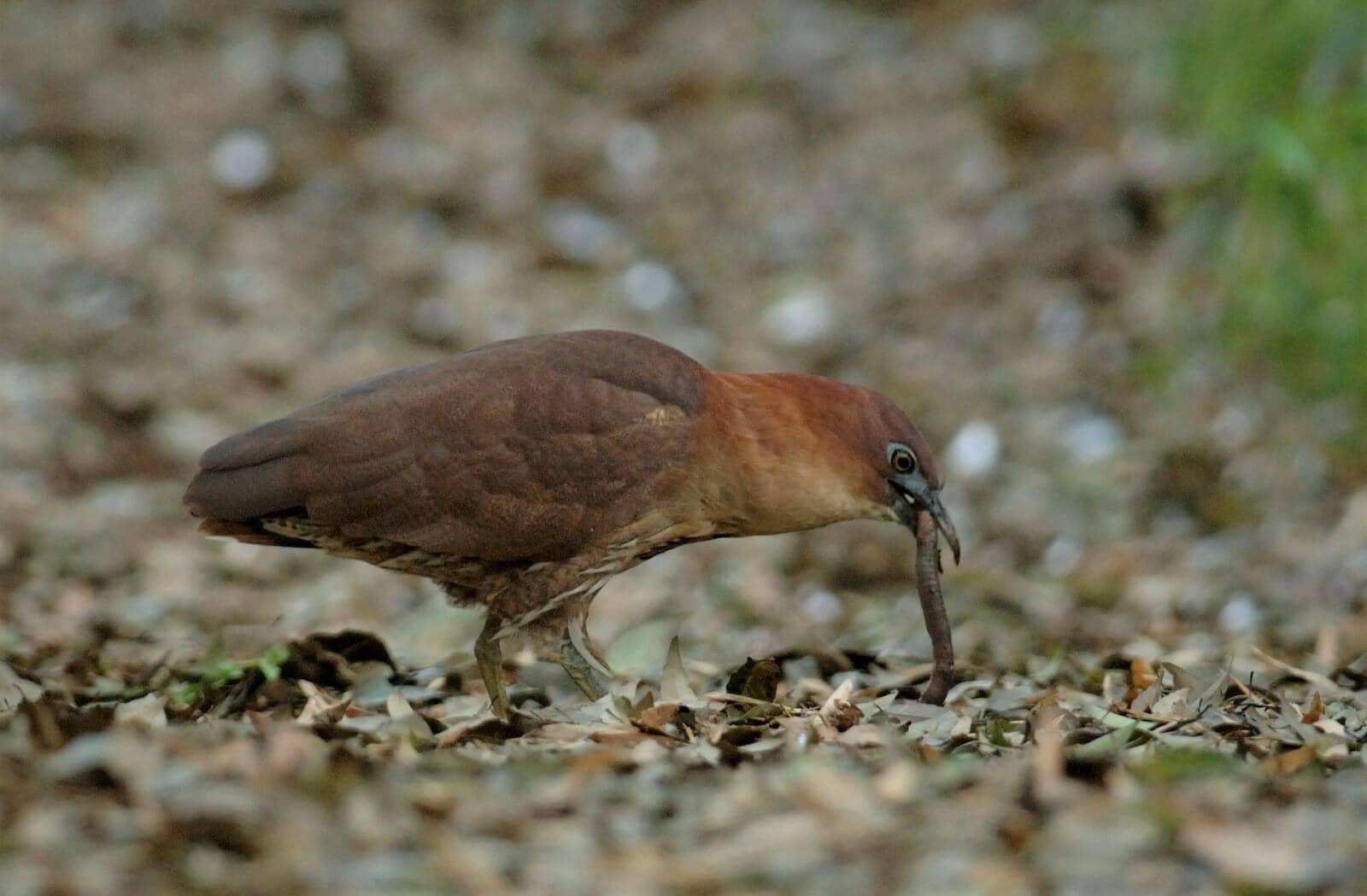ミゾゴイ〜世界で1000羽以下、ヤンバルクイナより少ない鳥