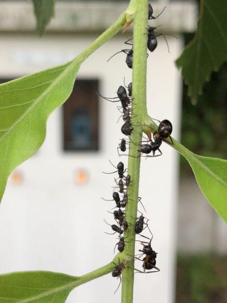 アリと共生関係のアブラムシとテントウムシ