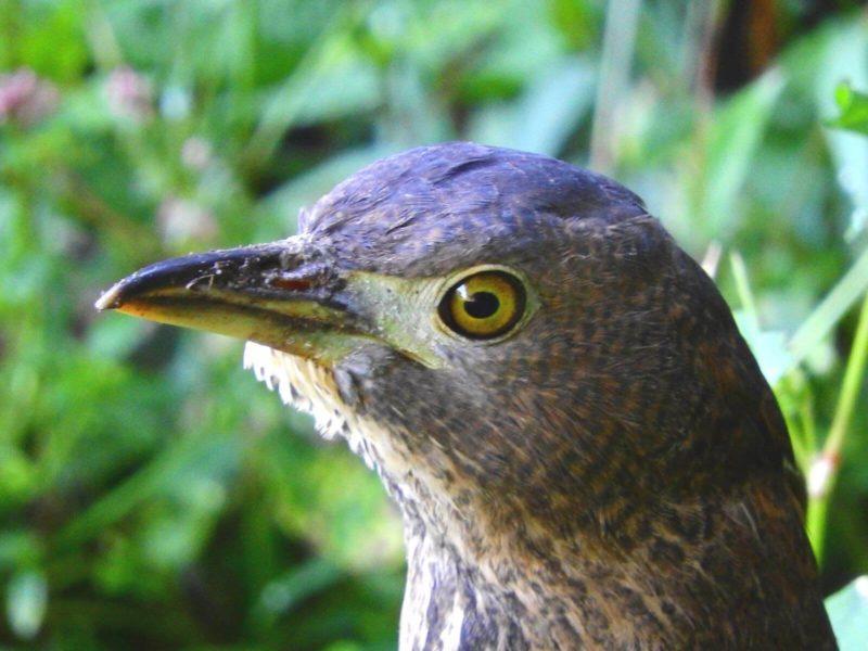 ミゾゴイ幼鳥