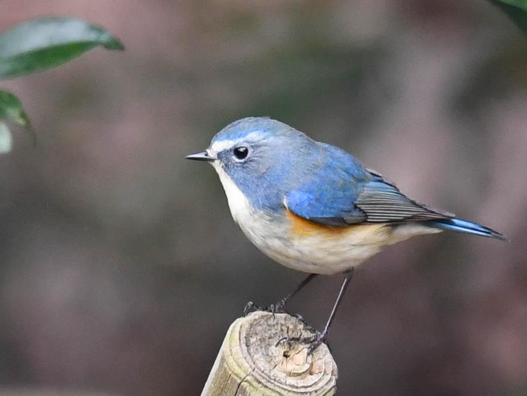 ルリビタキの生態・特徴・生息場所〜瑠璃三鳥のひとつ