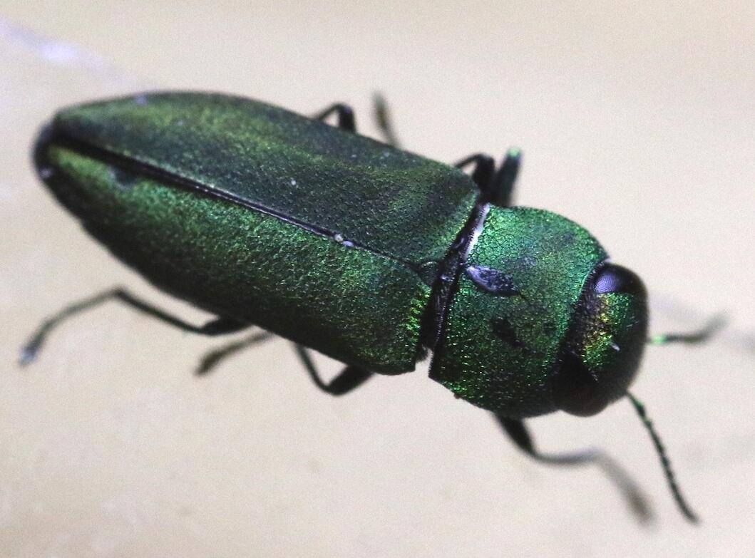 ヒメヒラタタマムシ〜深き翠(みどり)の美しき玉虫