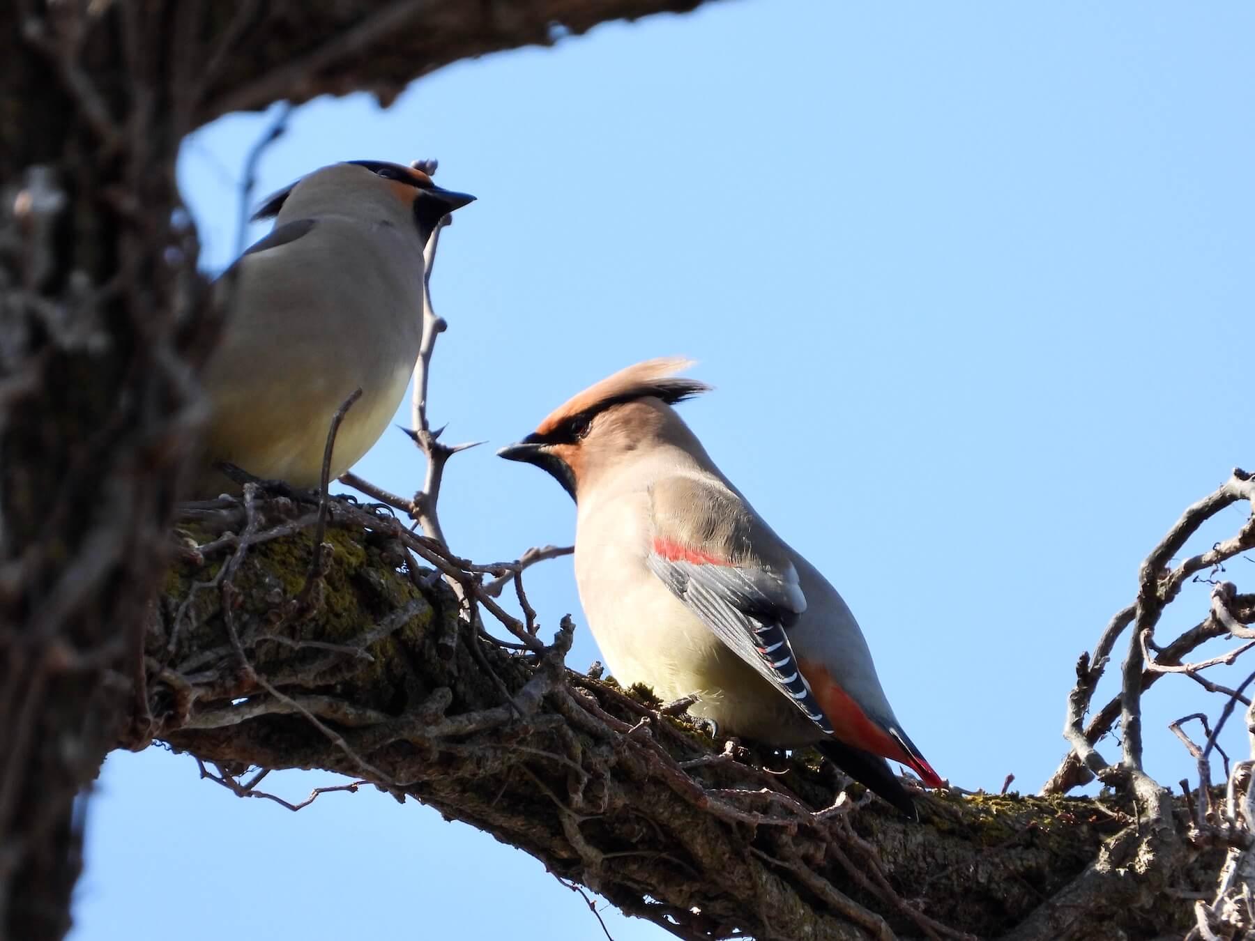 ヒレンジャクとキレンジャク〜蝋(ろう)物質を作る美しい渡り鳥