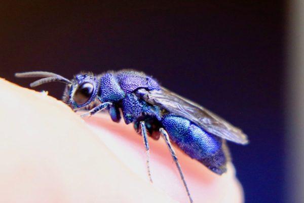 セイボウはjewel waspsと呼ぶ